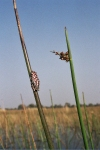 Swamp Frog, Okovango Delta, Botswana, Africa