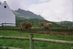 Cows, Franschhoek, South Africa, Africa