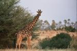 Giraffe, Botswana, Africa