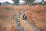 African Wild Dog Hunt, Botswana, Africa