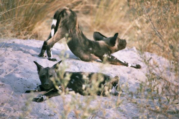 Downward Dog, Botswana, Africa