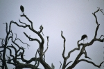 Vultures, Botswana, Africa