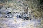 Cheetah, Botswana, Africa