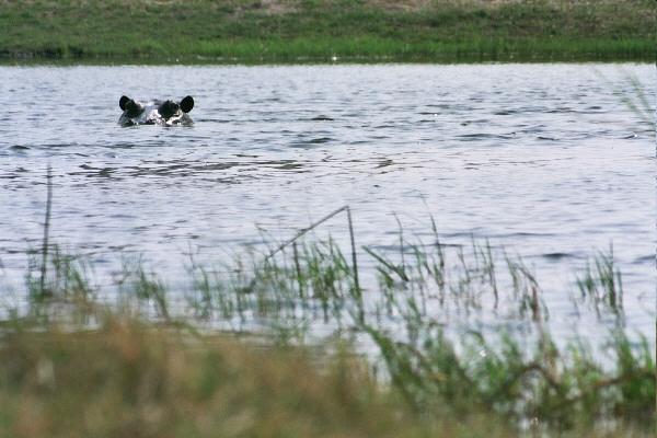 Hippo, Okovango Delta, Botswana, Africa