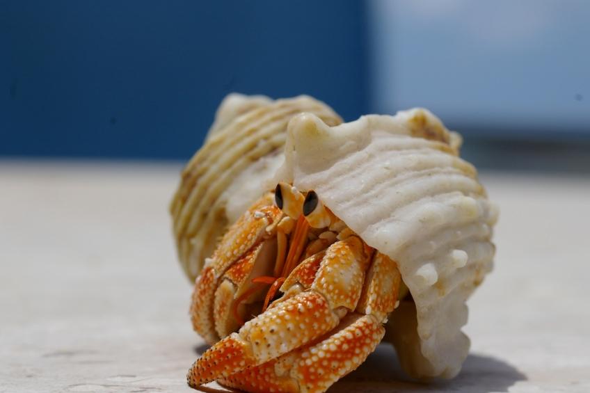 Hermit Crab, Maldives